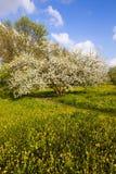开花的苹果结构树 免版税库存图片