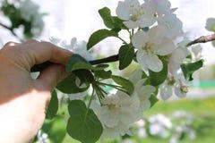 开花的苹果计算机庭院照片在莫斯科在春天 库存照片