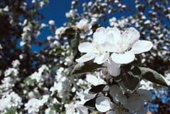 开花的苹果,开花的苹果 关闭 库存图片