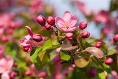 开花的苹果 免版税库存照片
