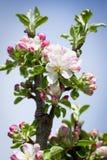 开花的苹果 库存图片