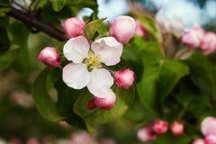 开花的苹果 免版税库存图片