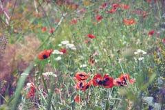 开花的草甸,野生鸦片 晴朗的夏天 免版税图库摄影