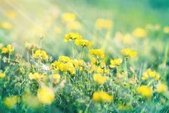 开花的草甸-毛茛花在春天 库存图片