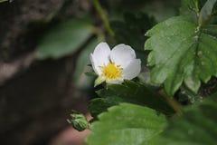 年轻开花的草莓 免版税图库摄影