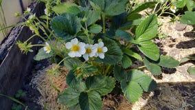 开花的草莓 库存图片