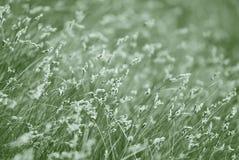 开花的草 单色照片 免版税库存照片
