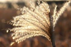 反对太阳的开花的草 库存照片