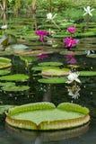 开花的荷花和睡莲叶在池塘 免版税库存图片