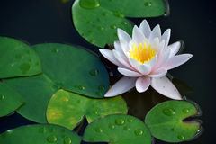开花的荷花在池塘 图库摄影