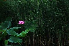 开花的莲花和芦苇墙壁 免版税库存照片