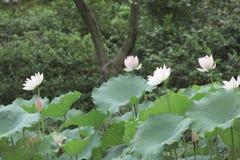 开花的莲花和莲花植物 库存图片