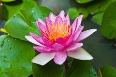 开花的莲花粉红色 免版税库存图片