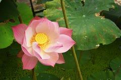 开花的莲花粉红色 库存图片