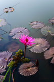 开花的莲花粉红色 免版税库存照片
