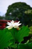 开花的莲花,京都日本夏天 免版税库存照片