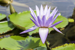 开花的莲花紫色 免版税库存照片