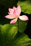 开花的莲花 库存图片