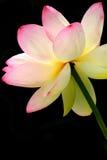 开花的莲花 库存照片