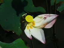 开花的莲花 图库摄影
