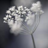 开花的莳萝群 库存照片