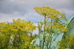 开花的莳萝草本植物在庭院(Anethum graveolens)里 关闭黑种草 免版税库存图片