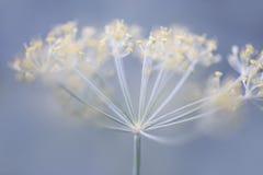 开花的莳萝 库存照片