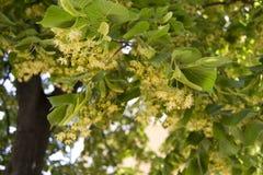 开花的菩提树 免版税库存图片