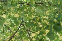 开花的菩提树Leafage在6月 库存图片
