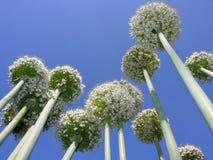 开花的葱植物的特写镜头在菜园里 图库摄影