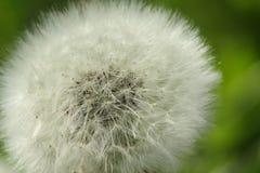 开花的蒲公英关闭  准备好的种子飞行  免版税库存图片