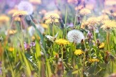 开花的蒲公英在草甸 免版税图库摄影