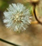 开花的蒲公英本质上从绿草增长 免版税图库摄影