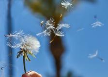 开花的蒲公英本质上从绿草增长 免版税库存图片