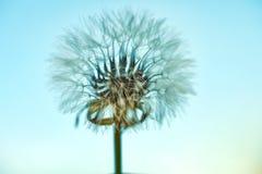 开花的蒲公英本质上反对天空蔚蓝的 库存照片