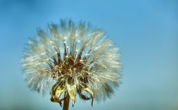 开花的蒲公英本质上反对天空蔚蓝的 库存图片