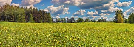 开花的蒲公英的领域 免版税图库摄影