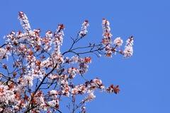开花的蓝色樱桃结算天空结构树 库存图片