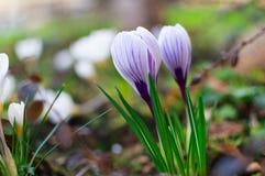开花的蓝色番红花 背景边缘更花重点春天郁金香 新鲜的生长番红花 免版税库存图片