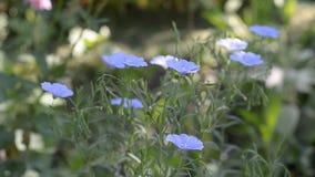 开花的蓝色胡麻在庭院里 股票录像