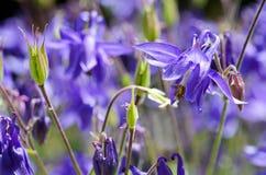 开花的蓝色花Aquilegia pancicii特写镜头 库存图片