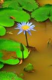开花的蓝色荷花 库存图片