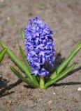 开花的蓝色风信花东部(Hyacinthus orientalis L ) 免版税库存照片