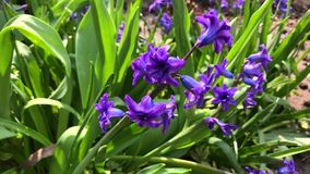 开花的蓝色风信花在夏天晴朗的下午的庭院里 股票录像