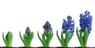 开花的蓝色风信花 免版税库存照片