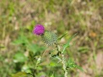 开花的蓟或Carduus在词根宏指令开花有bokeh背景,选择聚焦,浅DOF 免版税库存图片