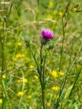 开花的蓟或Carduus花和芽在词根宏指令有bokeh背景,选择聚焦,浅DOF 免版税库存图片