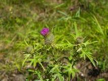 开花的蓟或Carduus花和芽在词根宏指令有bokeh背景,选择聚焦,浅DOF 库存照片