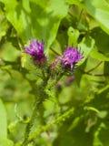 开花的蓟Carduus开花,芽和riping的种子在词根宏指令有bokeh背景,选择聚焦 免版税库存照片