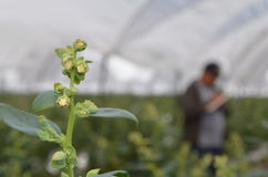 开花的蔓越桔植物 免版税图库摄影
